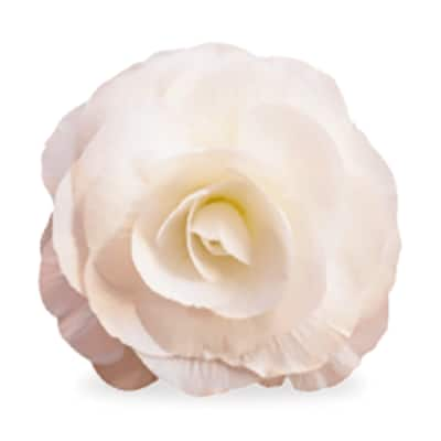 White annuals