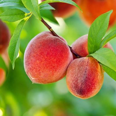Fruit Trees & Plants