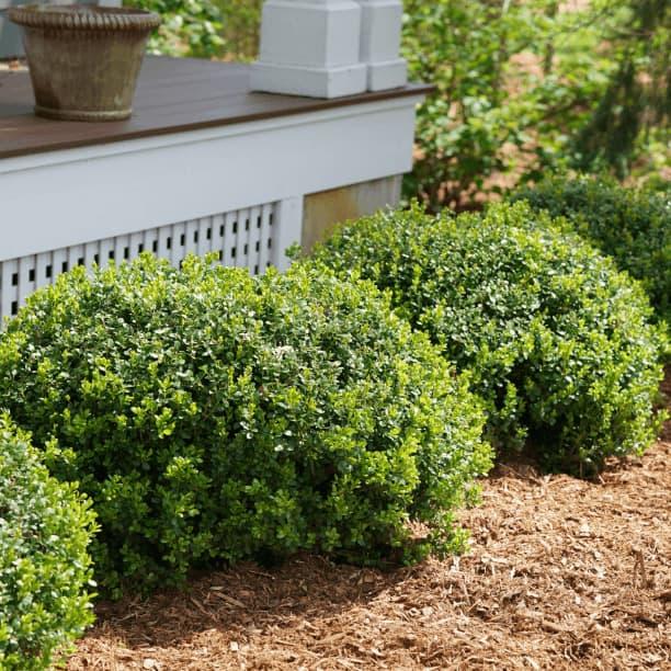 Shrubs & bushes